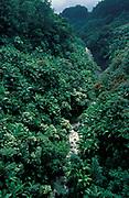 Palm Trees & Jungle, Kauai, Hawaii Islands, showing a number of invasive palm trees, waterfall,