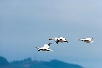 Three Snow Geese (Chen caerulescens) fly near each other while wintering at Fir Island in the Skagit River Delta, Puget Sound, Washington state, USA.