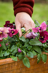 Removing dead pansy flowers in a winter container