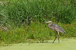 20 September 2012:   Moraine View State Park area.  A Breat Blue Heron seen in or above the murky water of Dawson Lake