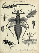 Manticora [tiger beetles] and Mantis Copperplate engraving From the Encyclopaedia Londinensis or, Universal dictionary of arts, sciences, and literature; Volume XIV;  Edited by Wilkes, John. Published in London in 1816