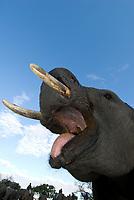 Jabulani the elephant with his handlers, Camp Jabulani, Kapama Private Game Reserve, near Kruger National Park, South Africa