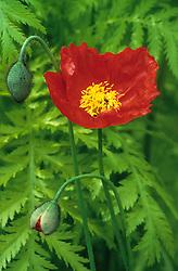 Papaver croceum 'Red Sails' syn. P. nudicaule. Iceland poppy,  Artic poppy