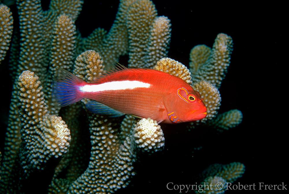 UNDERWATER MARINE LIFE HAWAII FISH: Hawkfish Cirrhitidae