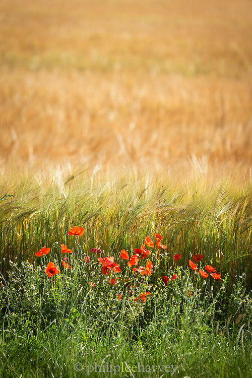 Red poppies in field in Verdun, France
