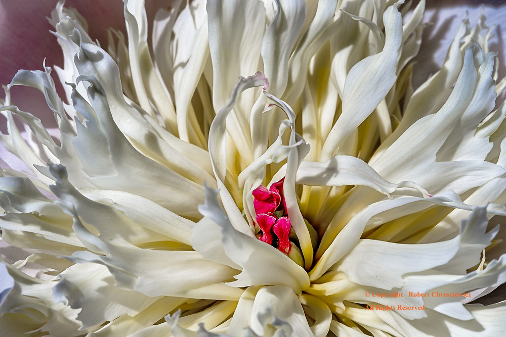 Macro Bloom: The fantastical display of detail held within, at  full bloom, Chilliwack British Columbia, Canada.