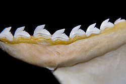 Teeth of tiger shark, Galeocerdo cuvier - hooked cusps hold prey and serrated edges cut out bites, differences in shark tooth size and shape reflect what and how they prey on, Hawaii, USA, Pacific Ocean