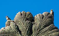 Cactus Wren, Campylorhynchus brunneicapillus, and Gila Woodpecker, Melanerpes uropygialis, perch on a cristate (crested) Saguaro cactus, Carnegiea gigantea, in the Desert Botanical Garden, Phoenix, Arizona