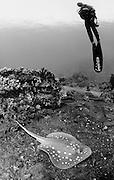 stingray on the wreck of the Yolanda, Ras Mohammed