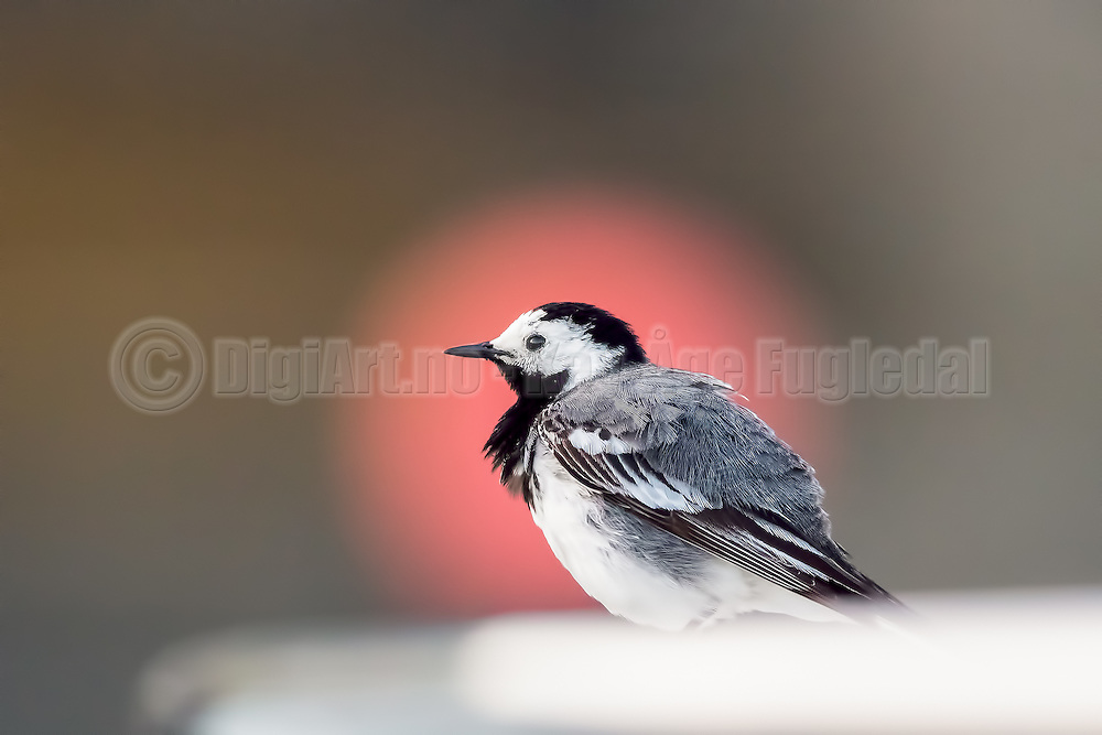 White Wagtail   Linerle
