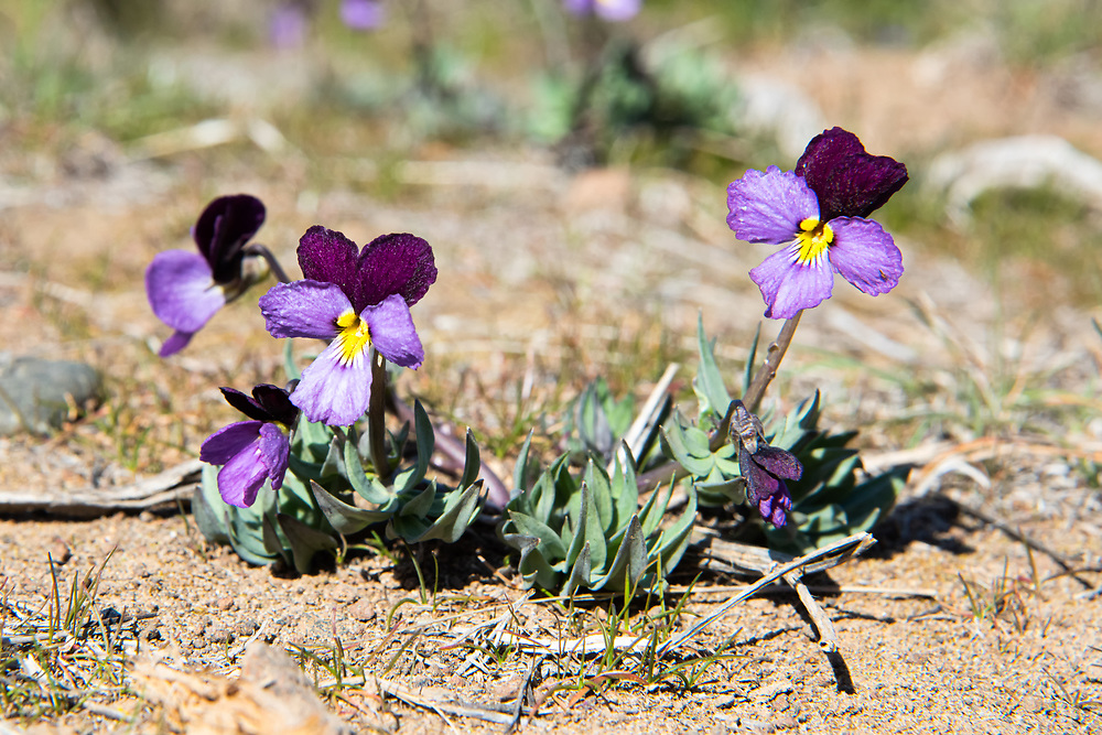 Also known as the Rainier violet and desert pansy, the sagebrush violet is a stunningly beautiful member of the viola family that is only found in the dry sagebrush deserts of Oregon and Washington State in the early spring where melting snow leaves moist patches in the soil. These were found growing on the hilltops just outside of Yakima, Washington in mid-March.