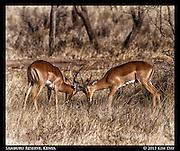 Fighting Male Gerenuk<br /> Samburu National Reserve, Kenya<br /> September 2012