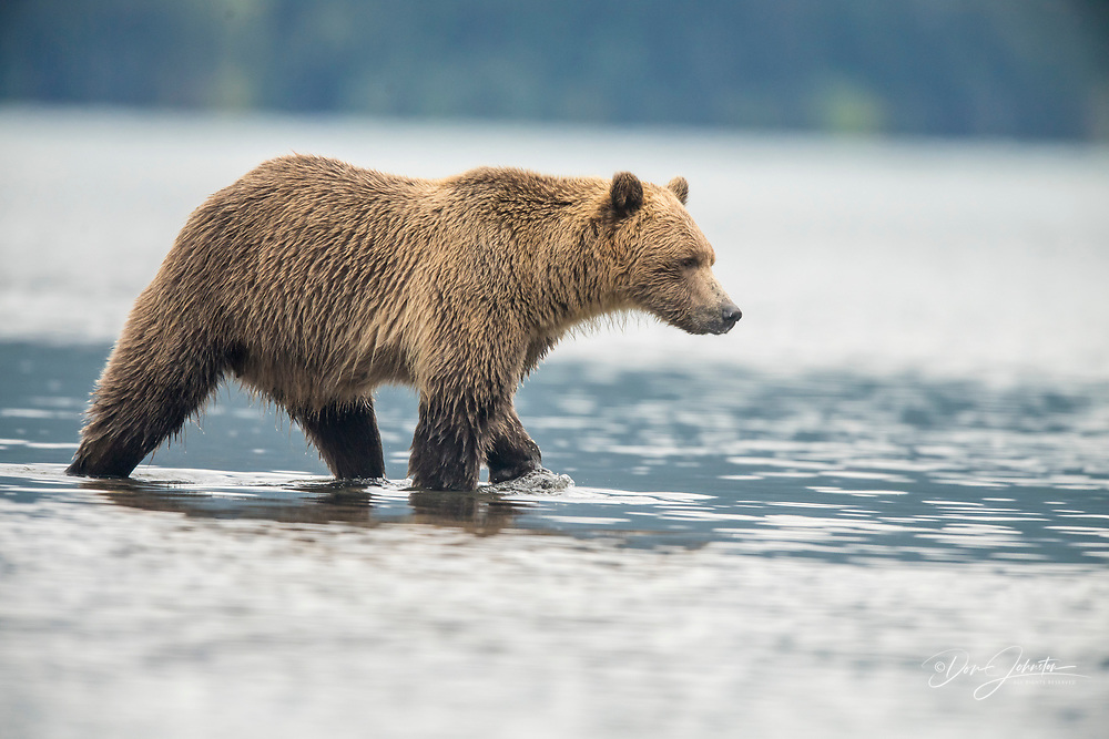 Grizzly bear (Ursus arctos)- Mother and first year cub hunting sockeye salmon spawning in Chilko Lake, Chilcotin Wilderness, BC Interior, Canada