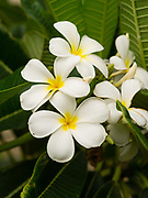 Image of plumeria blossoms on Kauai, Hawaii, USA.