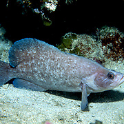 Greater Soapfish inhabit coral reefs usually resting on sand in shallow recesses in Tropical West Atlantic; picture taken Utila, Honduras.