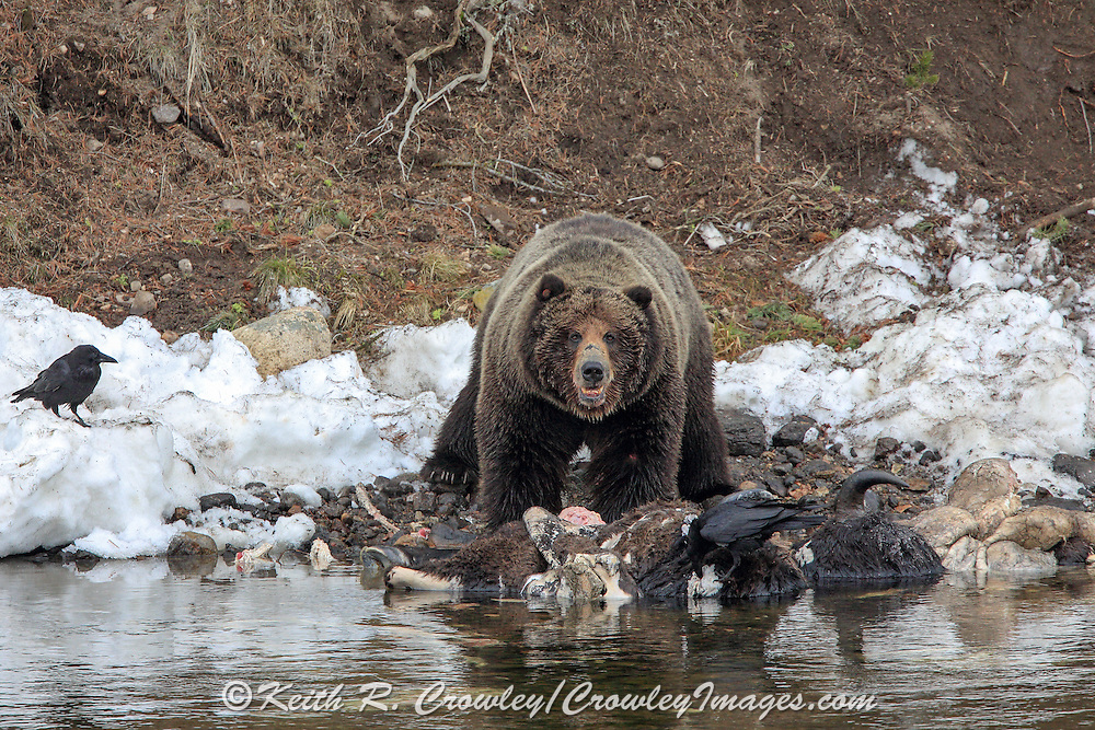 Large male grizzly bear feeds on a winter-killed bison carcass on a river bank in western Wyoming.