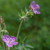 Sticky Geranium (Geranium viscosissimum) flowers bloom in Montana's Boulder River Valley.