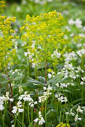 Euphorbia amygdaloides var. robbiae with Hyacinthoides non-scripta 'Alba'. Wood Spurge, White Bluebell