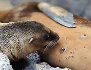 A female Galápagos sea lion (Zalophus wollebaeki) suckles its young pup.  Isla Plaza Sur, Santa Cruz, Galapagos, Ecuador