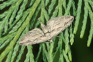 Cypress Pug Eupithecia phoeniceata Wingspan 19-22mm. A distinctive pug with narrow, pointed wings that are spread flat at rest. Adult has grey-buff wings marked with narrow, blackish lines. Abdomen has black line across middle. Flies August-September.  Larva feeds on Monterey Cypress and possibly Leyland Cypress. This recent arrival to Britain was first noted in 1959; it is now widespread in southern and central England.