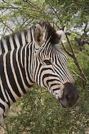 UMFOLOZI - 5 January 2006 -  A Zebra in the Hluhluwe-Umfolozi Park in northern KwaZulu-Natal..Picture: Giordano Stolley