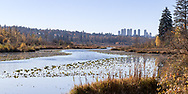 View of the Brunette River at the east end of Burnaby Lake with Metrotown area towers in the background.  Photographed from the Brunette Headwaters Trail in Burnaby Lake Regional Park in Burnaby, British Columbia, Canada