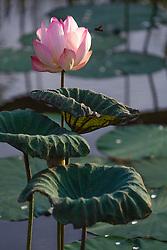 Lotus, nelumbo, pink #8