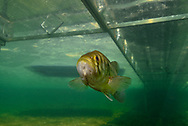 Largemouth Bass (under boat dock)<br /> <br /> Engbretson Underwater Photography
