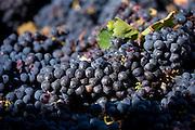 Sangiovese Chianti Classico grapes freshly-picked at Pontignano in Chianti region of Tuscany, Italy