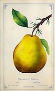The D'Anjou pear, sometimes referred to as the Beurré d'Anjou or simply Anjou, is a short-necked cultivar of European pear. The variety was originally named 'Nec Plus Meuris' in Europe and the name 'Anjou' or 'd'Anjou' was erroneously applied to the variety when introduced to America and England. It is thought to have originated in the mid-19th century, in Belgium or France. from Dewey's Pocket Series ' The nurseryman's pocket specimen book : colored from nature : fruits, flowers, ornamental trees, shrubs, roses, &c by Dewey, D. M. (Dellon Marcus), 1819-1889, publisher; Mason, S.F Published in Rochester, NY by D.M. Dewey in 1872