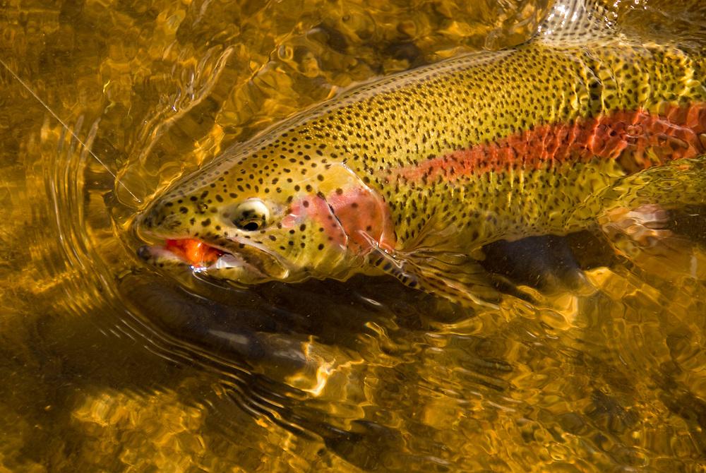 Alaska Southwest, Rainbow Trout, King Salmon River.