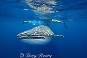whale shark ( Rhincodon typus ) and snorkeler, Kona Coast of Hawaii Island ( the Big Island ) Hawaiian Islands, USA<br /> ( Central Pacific Ocean ) MR 357, 360