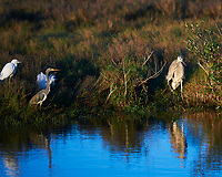Little Blue Heron (Egretta caerulea), Tricolored Heron (Egretta tricolor), Great Blue Heron (Ardea herodias). Black Point Wildlife Drive. Merritt Island National Wildlife Refuge. Image taken with a Nikon D3 camera and 70-200 mm f/2.8 VR lens.
