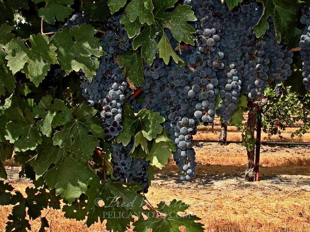 Syrah Clusters - Paso Robles - J. Lohr Winery