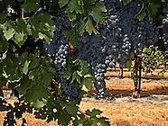 Wine Grapes ~ Syrah