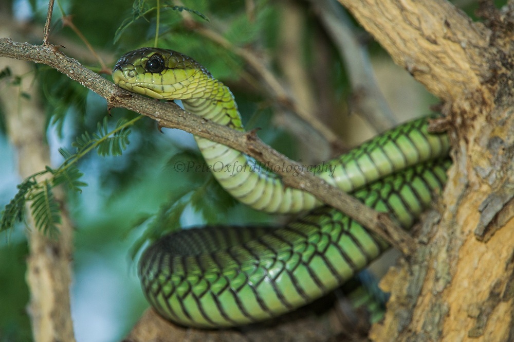 Boomslang (Dispholidus typus)<br /> Marakele Private Reserve, Waterberg Biosphere Reserve<br /> Limpopo Province<br /> SOUTH AFRICA<br /> HABITAT & RANGE: Open bush and Savannah throughout subSaharan Africa