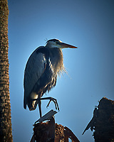 Great Blue Heron with a thick beard resting in the early morning sun. Merritt Island National Wildlife Refuge. Image taken with a Nikon D4 Camera and 80-400 VRII lens