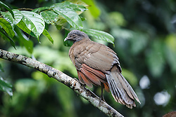 Gray-headed Chachalaca, Ecocentro Danaus Biological Reserve, Costa Rica.