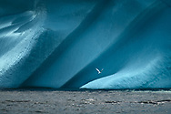 Have you ever wondered why some Icebergs have this deep shade of blue? Blue icebergs have very little air inside while white icebergs have many air bubbles or a snowy surface.