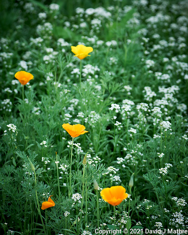 California Poppy flowera. Image taken with a Leica SL2 camera and 24-90 mm lens.