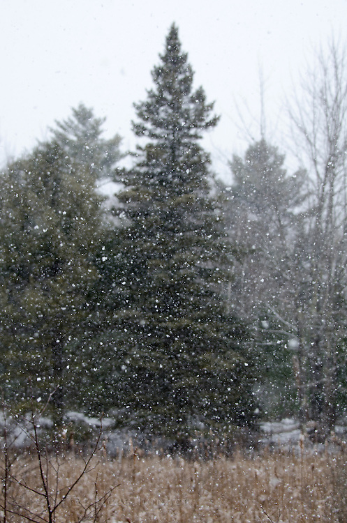 Snow falling in front of spruces trees in Acadia National Park, Maine.