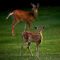 Fawn and Doe.  Summer Backyard Nature in New Jersey. Image taken with a Nikon D3s and 300 mm f/2.8 VR lens (ISO 400, 300 mm, f/2.8, 1/500 sec).