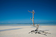 A driftwood tree in the water near Harbour Island, Eleuthera, The Bahamas