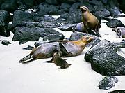 Sea Lions, Zalophus wollebaeki, Espanola or Hood Island, Galapagos Islands, Ecuador, South America 1974