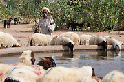 A Rajasthani shepherd and sheep drinking at a watering hole on 8th November 2009, in the Thar desert near Jaisalmer, Rajasthan, India.