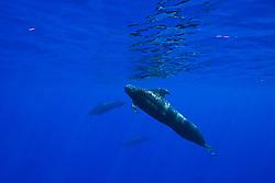 Short-finned Pilot Whales, Globicephala macrorhynchus, bull - large male in front, off Kona Coast, Big Island, Hawaii, Pacific Ocean.