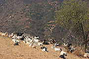 Goats Resting on a Dry Hillside in Laguna Beach
