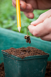 Pricking out young tomato seedlings into individual pots.