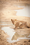 Lion in the extreme heat of Waza National Park, in the north of Cameroon