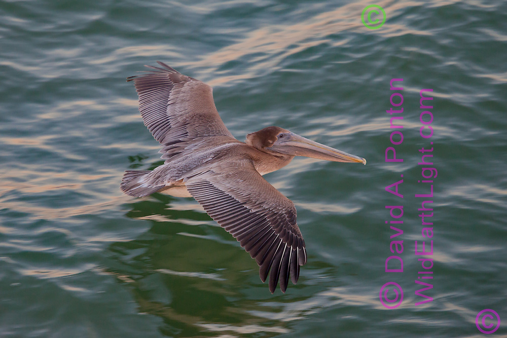 Juvenile brown pelican flying very low over the ocean surface, Florida, © David A. Ponton